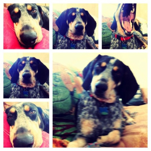 Buc on a Friday via @frametastic #bluetick #petstagram #petsofinstagram #livelovepets #dogstagram #igersmanila #igersflorida #igers