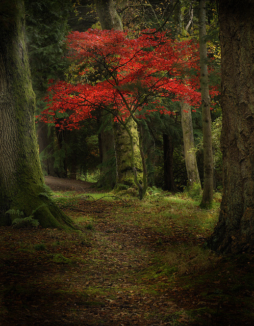 bluepueblo:  Autumn Tree, Scotland photo via eileen