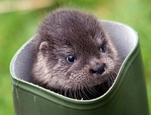 Otter Cuteness via:cutestpaw