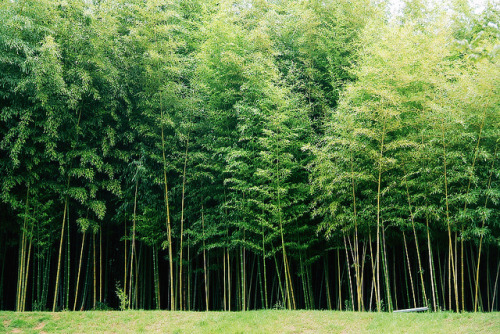 wtfcorey:  bamboo forest by VeritasNova on Flickr.