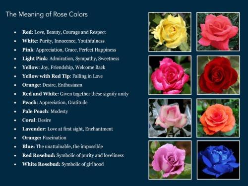 rose flower rose flower meaning symbolism, Natural flower