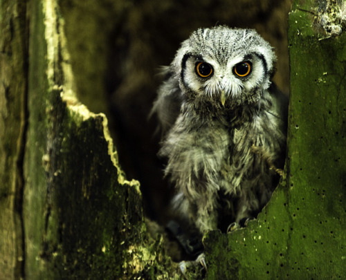 our-lips-locked:  Owl UK by Renato Granieri on Flickr.