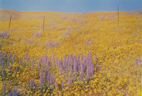 phoebebishopwright:  William Eggleston - Untitled (Flowering Field), ca 1978