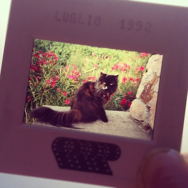 I found an old slide of my cat Tartina, wasn't she beautiful? She died 3 years ago at age 18, but i'll never forget her. She was like my big sister, I grew up with her and she will always be in my heart