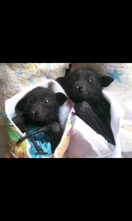 These orphaned bats were lucky to have been found. They will be nursed till they're ready to go out on their own. Are you guys adorable or what???