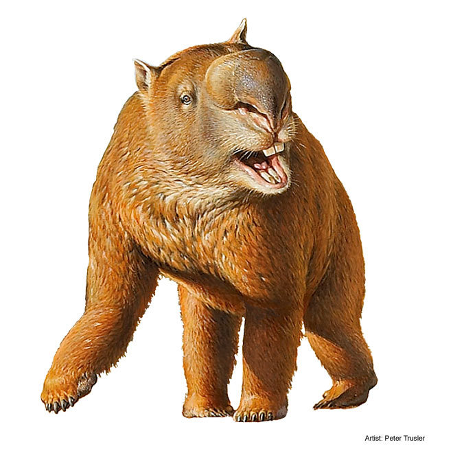 "paleoillustration:  Diprotodon, meaning ""two forward teeth"", sometimes known as the giant wombat or the rhinoceros wombat, is the largest known marsupial ever to have lived. (Wikipedia). Picture by Peter Trusler"