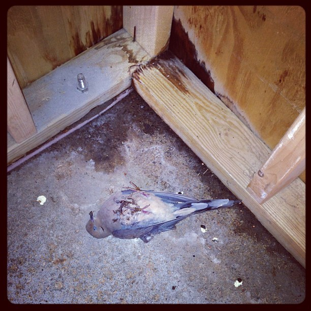 #ImSorry  Mr.Pigeon… #pigeon #bird #death #guts #blood #feathers #sad #life #garage #stuckintime #cruel #gross
