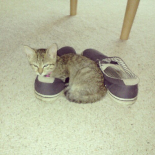 Kitty sleepin in my shoe