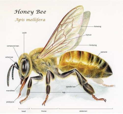 noelbadgespugh:  Honey Bee (Apis mellifera) . . commission for the Urban Bee Garden . . watercolor with labels added in Adobe Illustrator