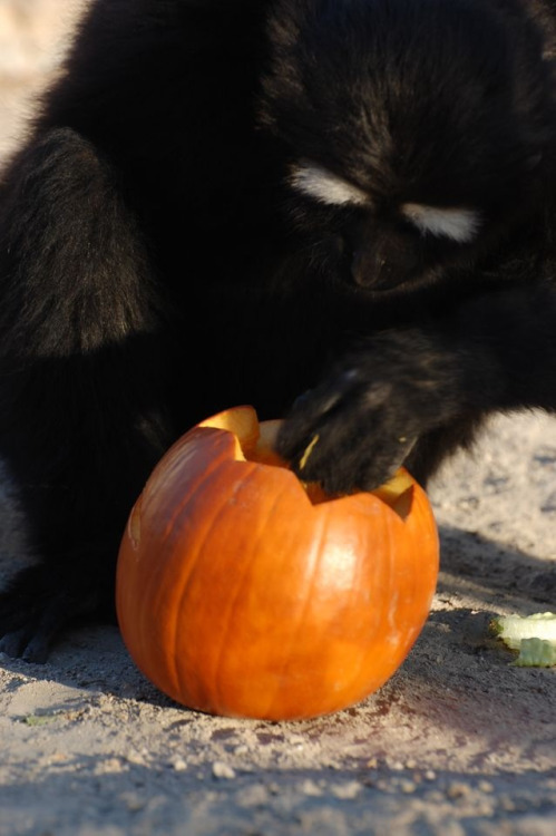 gibboncenter:  Did someone say Thanksgibbon? Where?  omg