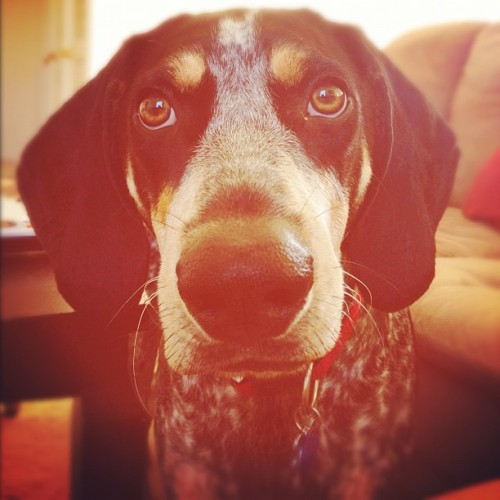 Hi Buc! #bluetick #petstagram #petsofinstagram #dogstagram #cute #sundaymorning #sunday #igersmanila #igers #igersflorida #livelovepets