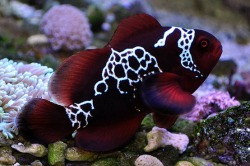 earthlynation:  lightning maroon clownfish source  Premnas biaculeatus