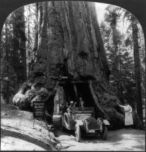 collective-history:  The Wawona tree, Mariposa Grove, Yosemite Valley, California ca. 1918   1969-ben a képen látható 2300 éves fa kidőlt, mert nem bírta megtartani a koronáján lévő KÉT TONNA havat. Azóta Fallen Wawona Tree a neve, értelemszerűen :D