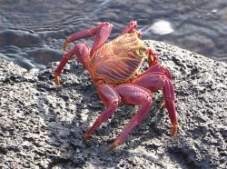 A bright orange tropical rock crab, Grapsus grapsus, is a conspicuous exception to the rule that most crabs bear cryptic coloration. Photo by Marc Figueras