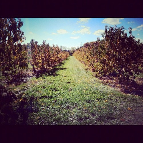 This is a peach orchard (at Brooksby Farm)