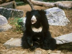 While not the most urbane bear, he's certainly still adorable. The sloth bear (Ursus ursinus) wander the forests of South Asia alone, grunting and snorting while searching for insects and fresh fruit. They're built with claws like anteaters, perfectly curved for slicing through termite mounds. Unlike anteaters, they do it quite… unappealingly. By closing off their nostrils and opening their mouths, they vacuum in any unlucky termites through a gap in their teeth! Another cool thing about their diet? They're the original Winnie the Pooh!  Well, I mean I don't know that but.. They do scale trees to knock down honeycombs. Unfortunately, they are often caught for their ability to perform (circuses anybody?) or killed for their aggression and tendency to destroy crops.. And if they're lucky enough to survive, the land they live in is constantly shrinking. These factors have left them vulnerable according to the IUCN.