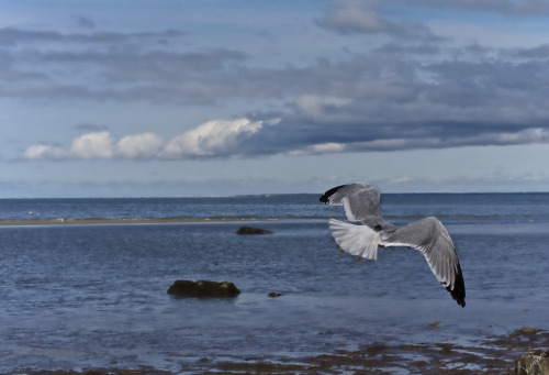 Seagull in flight (by PJD-DigiPic)