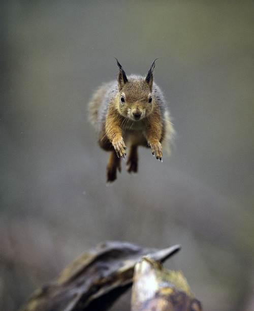Leaping Red Squirrel by David C Walker 1967 on Flickr.Via Flickr: Red squirrels are such characters and are so much fun to observe and photograph.  They travel from tree to tree whenever possible and seldom use the ground to move about.  It you observe them closely you can predict which trees and branches they will leap from allowing you capture an image of them travelling through the air.  Other red squirrel images can be viewed at my new web site www.natureobserved.co.uk