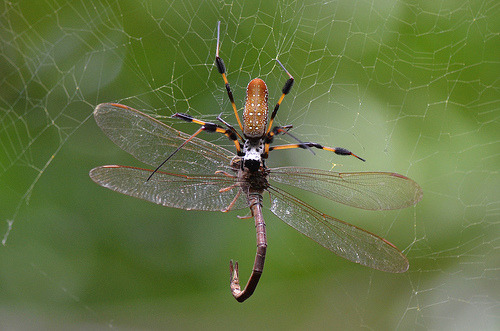 Banana Spider Vs. Dragonfly by PeterBrannon, on Flickr