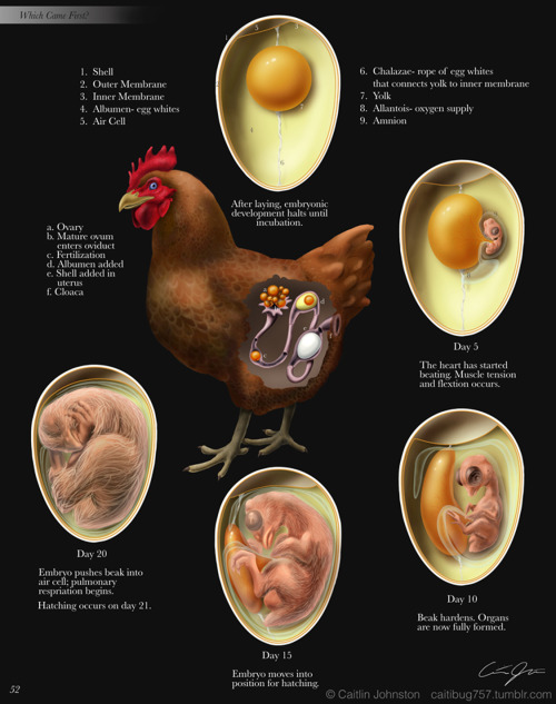 caitibug757:  Development cycle of a chicken. (2011) Adobe Illustrator Adobe Photoshop