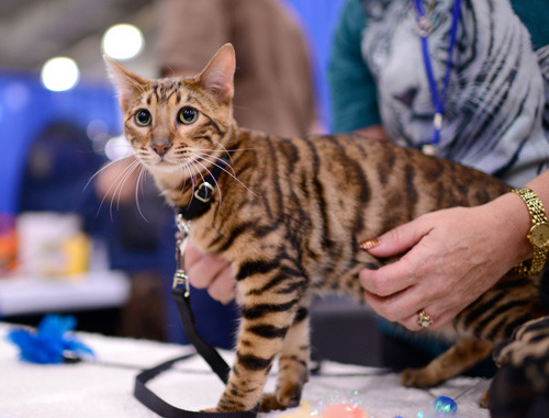 Meet The Breeds at Javits Center. Some learnings from the weekend: 1. Two days of photographing dog and cat events will make you sore in all your leaning-down-to-see-small-things muscles. (Beer helps). 2. A Nikon D800 with a 35mm f1.4 lens can practically shoot heldheld in the dark. As with anything good you know there's know going back while your accountant mind slowly adjusts to the pricetag. 3. There are cats that look like tiny tigers!