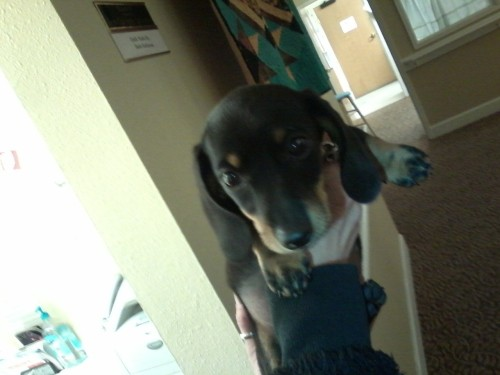 Cute as shit wiener dog puppy one of Nolan's coworkers owns. Debating how likely I can convince my parents to let us have one.  We already have 4 dogs, 3 of which are inside. But. Look at him. He's. So. Cute.