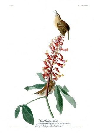 Plate 78 of The Birds of America by John Audubon, the Great Carolina Wren, which has lost its greatness and is now merely the Carolina Wren.