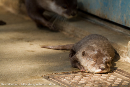 dailyotter:  Otter Pup Takes a Nap in a Sunbeam Via Das Otterhaus