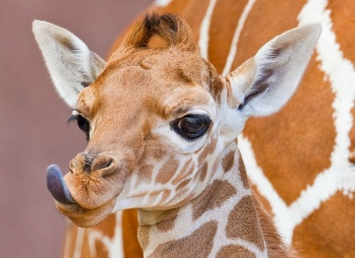 lovinqpayner:  cutest giraffe. ever.