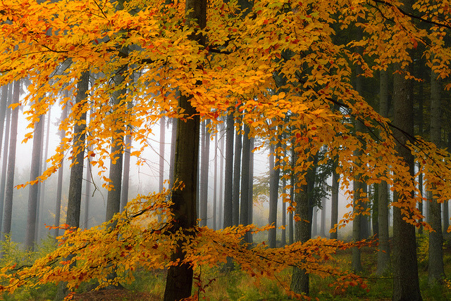 Golden forest by dellafels on Flickr.