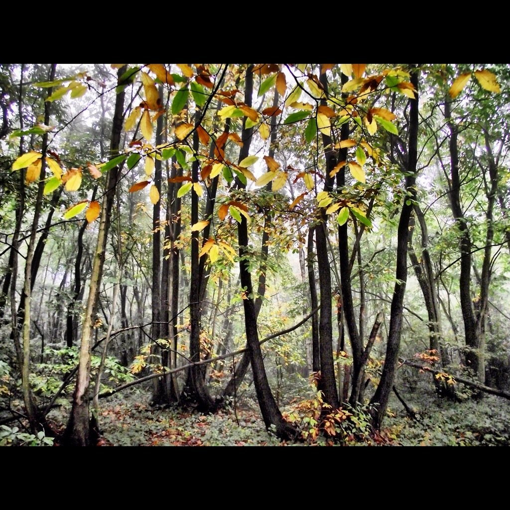Autumn colours in Bullock Wood#CapturedMoment #streamzoo #autumn #beautiful #trees #ilovetrees #photography(from @mrslolad on Streamzoo)