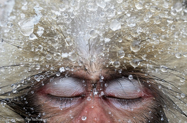 The Best Nature Photographs of the Year, Including This Too-Human Monkey Portrait  There are animal photos and there are animal photos. While I'm a fan of Instagrams of cats and dogs, the images in the Veolia Environment Wildlife Photographer of the Year show at the Natural History Museum in London are no mere social-media fodder. Here we see a Japanese macaques in repose. A Dutch photographer, Jasper Doerst, visited the hot springs of Jigokudani Valley in central Japan, and found about 30 monkeys soaking in the warm water. This one fell asleep right in front of him.  See more. [Images: Jasper Doest]