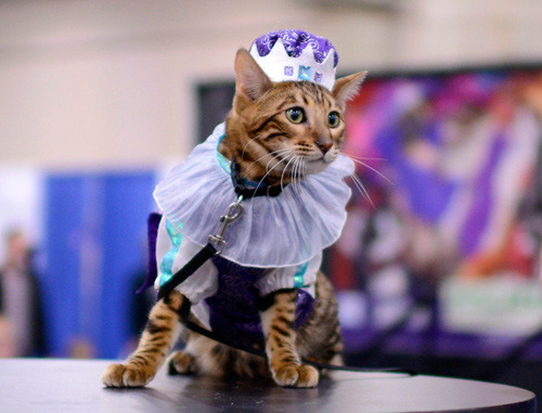 snackish:  I photographed a cat fashion show yesterday. It was kind of amazing.