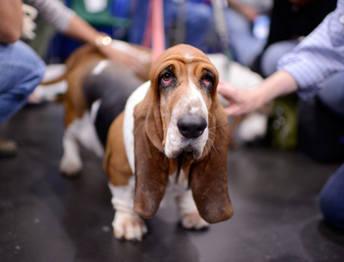 Basset Hound at Meet the Breeds Now that I know how shallow the depth of field is on this lens I'd use different settings. Live and learn.