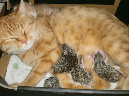tugamaggie:  phototoartguy:  Cat nurses her kitten…and 4 orphaned hedgehogs, too