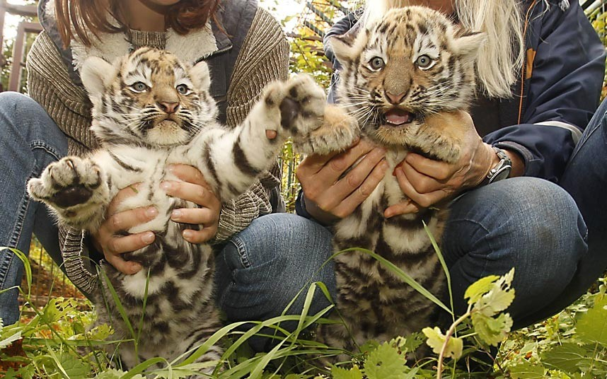 funnywildlife:  A pair of Siberian tiger cubs are shown off to the camera at Zoo Aschersleben in Aschersleben, GermanyPicture: Imago / Barcroft Media