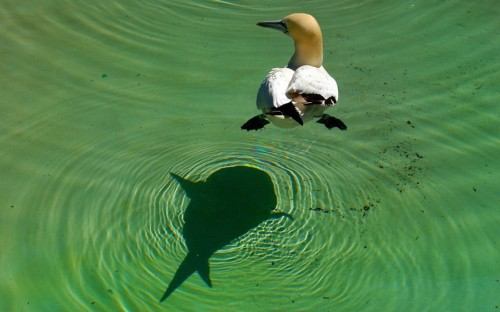 tumblr mccfgdtCWH1qzou5ko1 500 Gannet at the Artis zoo in Amsterdam Picture: Joe Beerens/Caters...