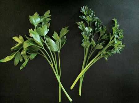 Get to Know a Better Flat-Leaf Parsley: Titan Parsley From Kemp Minifie:  Titan parsley. Sounds like a giant of an herb, right? It's the oxymoronic name of the parsley pictured above on the right. Compared to the regular Italian flat-leaf parsley on the left, it looks downright diminutive. But what it lacks in size—and who says small is a negative, anyway?— it more than makes up for in a dynamic, slightly sweet flavor.  keep reading