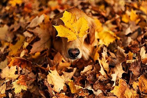picklespup:  I'm a golden leaf-triever. Duh.