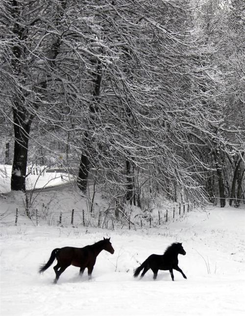 magicalnaturetour:  Horses in the snow-covered field in Kaltenbach, Germany. (Wolfgang Rattay / Reuters) :)  Beautiful