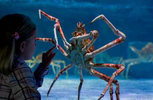 magicalnaturetour:  A girl looks at a great spider crab living in a 20,000-liter basin at the Sea Life aquarium in Timmendorfer Strand, northern Germany. (Ulrich Perrey/AFP/Getty Images):)  it looks like it wants to attack her