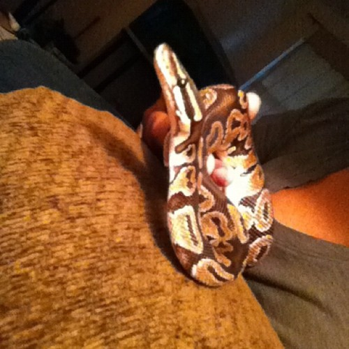 Munchie is out to play #ballpython #petsnake #snake