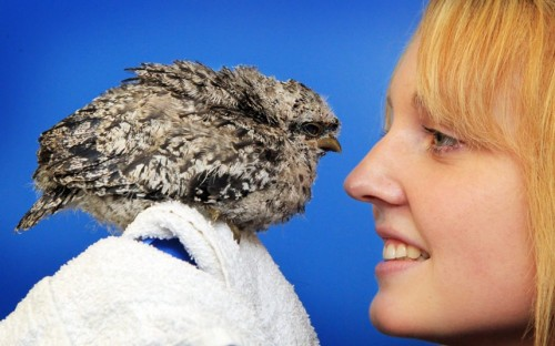 Wildlife veterinary nurse Jessica Vincent with a four-week-old Tawny Frogmouth chick which was brought in to the RSPCA centre by a member of the public in Brisbane.  Picture: Newspix / Rex Features