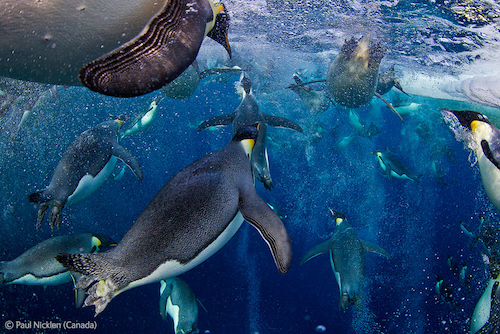 "Paul Nicklen's picture of emperor penguins in the Ross Sea, ""Bubble-Jetting Penguins,"" has won the 2012 Veolia Environnement Wildlife Photographer of the Year competition. This is amazing, right? Apparently he captured it by ""[lowering himself] into the only likely exit hole … wait[ing[ for the return of the penguins … [and lock[ing] his legs under the lip of the ice so he could remain motionless, breathing through a snorkel so as not to spook the penguins when they arrived."" Crazy, right? You can see more of Nicklen's penguin photos at National Geographic (they are UNBELIEVABLE), and check out all the winning photographs. The one with the shark fins is horrifying, but the sneaky tiger is adorable."