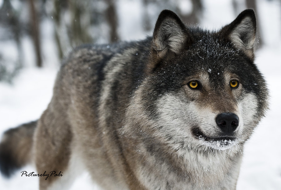 A Beautiful Grey Wolf by PictureByPali