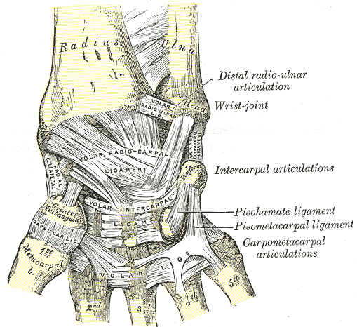 mediagrams:  Ligaments of wrist: anterior view: Gray's Anatomy