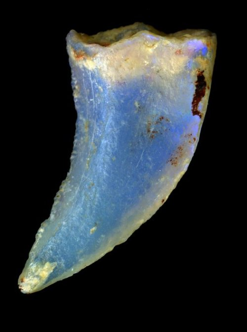 geneticist:  Opalized dinosaur tooth Fossils are normally formed when minerals fill the cellular spaces and crystallize. Opalized fossils, on the other hand, form when bits of silica gel settled into the cracks and fissures of the cellular spaces and form opal. (via)  what sweet tooth!