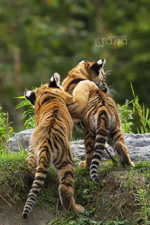 captivating-animals:  Brothers by *Eltasia  Sweet :)