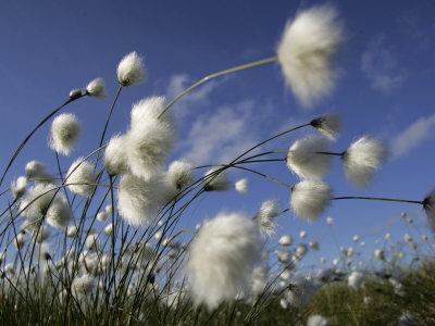 #wind #blowing #grass #cotton