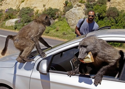 Monkey business: Baboons raid tourists' car (Photo: Schalk Van Zuydam / AP) Two baboons raided a car belonging to two Canadian tourists at Millers Point on the outskirts of Cape Town, South Africa, on Wednesday, according to The Associated Press. Monitors with paintball guns track baboon troops to keep them from getting into trouble, but that does not always keep them from mischief. Read the complete story.